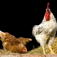 Chicken Farming Organic Poultry Organic